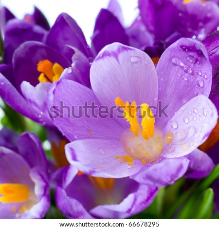 Spring holiday crocus flowers background ( macro)