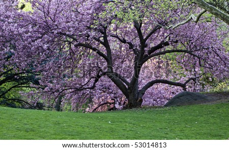 In central park with japanese cherry trees in full bloom stock photo