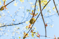 spring in city - bourgeon of ash-leaved maple tree close up with blue sky on background on sunny day (focus on bud on foreground)