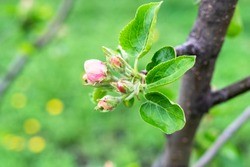 spring in city - bourgeons of apple tree close up in urban garden (focus on big bud with young pink flower)