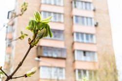 spring in city - fresh green leaves of horse-chestnut tree close up and tower apartment building on background (focus on the bourgeon on foreground)