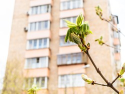 spring in city - new green leaves of horse-chestnut tree close up and tower apartment building on background (focus on the bourgeon on foreground)