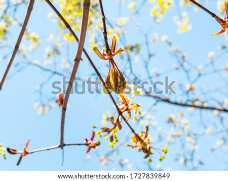 spring in city - open bud of ash-leaved maple tree with blue sky on background on sunny day (focus on bourgeon on foreground) Photo stock ©