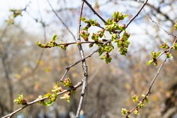 spring in city - twigs with buds of old apple tree close up in urban yard (focus on upper cluster of bourgeons on foreground)
