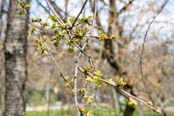 spring in city - twigs with buds of old apple tree in urban park (focus on upper cluster of bourgeons on foreground)