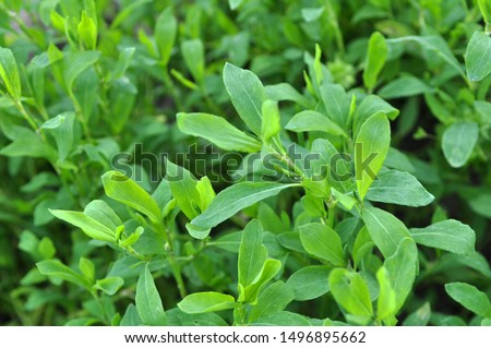 Spring in nature the green grass doorweed (Polygonum aviculare)