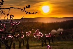 spring in the branches of fruit orchards