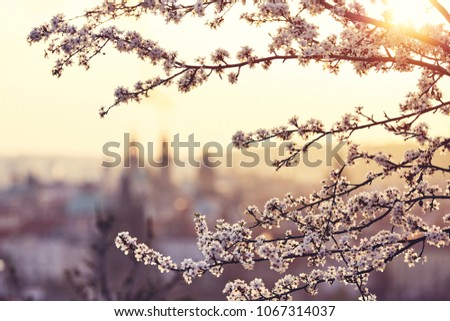Spring in the city. Blossom tree against old town. Beautiful sunrise in Prague, Czech Republic #1067314037