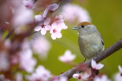 Spring in the garden, singing bird theme. Eurasian blackcap, Sylvia atricapilla, female. Portrait of  bird with brown capped head among pink flowers against green background. April, Europe.