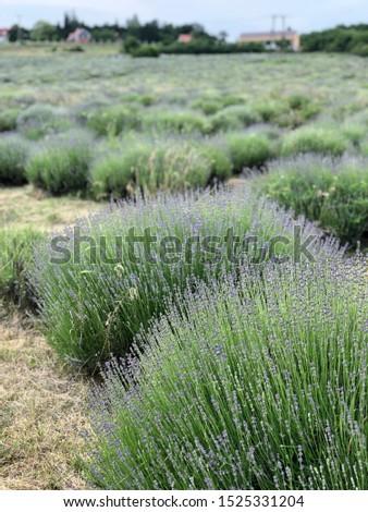 spring in the lavender field Stock fotó ©