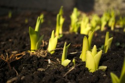 Spring iris flowers sprouts growing from the soil