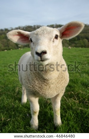Spring Lamb - stock photo