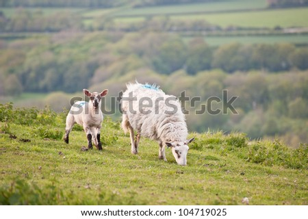 Spring lamb and ewe mother in Spring rural farm landscape