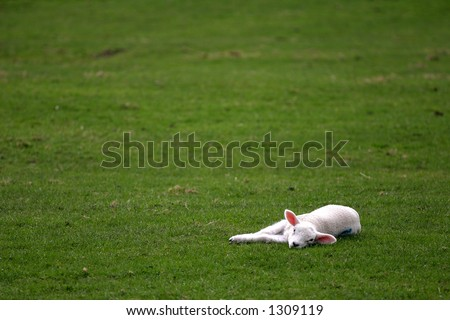 spring lamb lying in field
