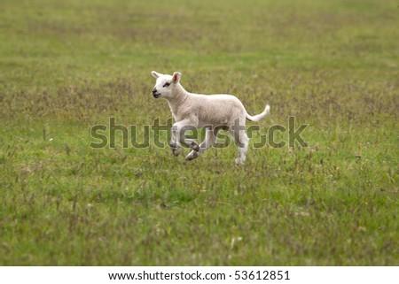 Spring lamb running, Hampshire, England.