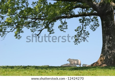 Spring lambs and sheep sheltering in the shade under the branches of an oak tree with a blue sky to the rear. - stock photo