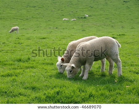Spring Lambs Grazing in a Green Meadow