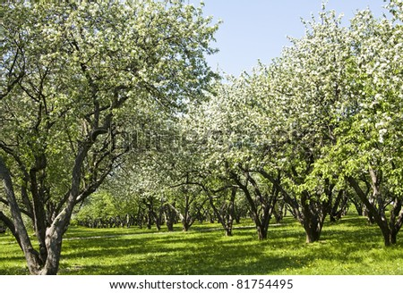 Spring landscape - apple garden in blossom. Recorded in park Kolomenskoye, Moscow.