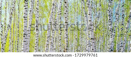 Spring landscape. Background of white birch tree trunks. Panoramic frame Photo stock ©