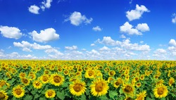 Spring landscape, field of beautiful golden sunflowers, blue sky and white clouds in the background