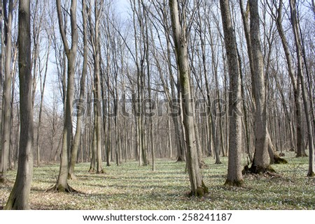 Spring landscape - ground covered with snowdrops on a background of trees in the forest