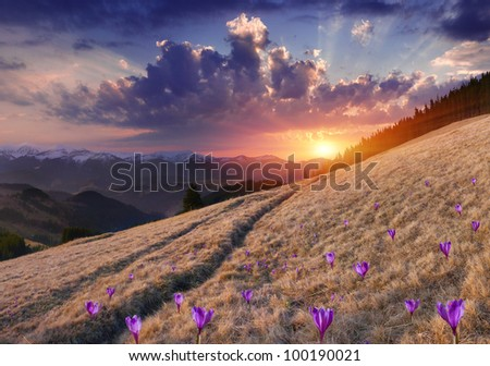 Spring landscape in the mountains with field of blossom crocuses. Sunset