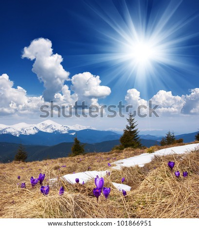 Spring landscape in the mountains with the first crocuses flower. Ukraine, the Carpathian mountains