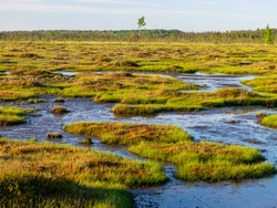 spring landscape in the swamp.  small swamp lakes, mosses and swamp pines.  small island of swamp water and beautiful reflections