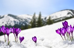 Spring landscape of blooming flowers violet crocuses ( Crocus heuffelianus ) on glade in mountains covered of snow. Carpathian mountains
