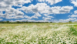 spring landscape panorama with flowering flowers on meadow. white chamomile blossom on field. panoramic summer view of blooming wild flowers on meadow