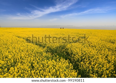 spring landscape, rapeseed fields in full bloom at riverside