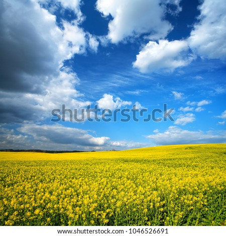 Spring Landscape with Fields of Oilseed Rape in Bloom under Blue Sky with Cumulus Clouds