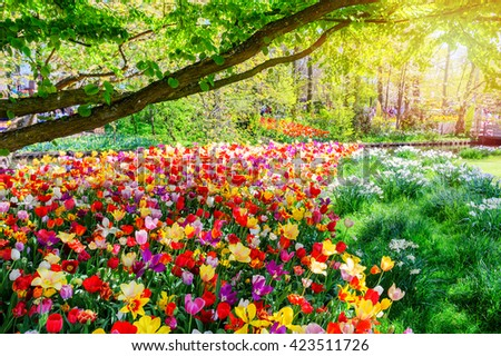 Spring landscape with multicolor tulips. Nature background