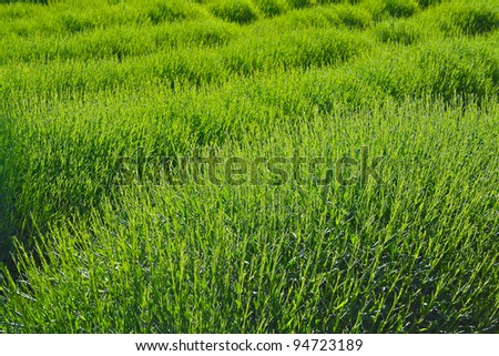 Spring Lavender Field #94723189