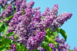 Spring. Lilac blossom on trees