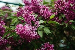 spring lilac. Lilac flowers on the branch. Lilac flower pink spring background. Springtime in the lilac park. Floral background.