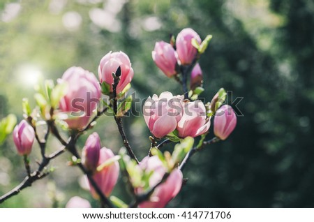 Spring magnolia flowers on the natural background. For this picture applied color toning effect.