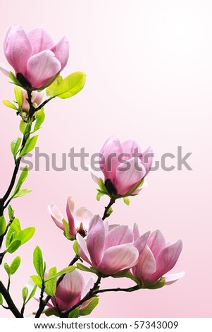 Spring magnolia tree blossoms on pink background.