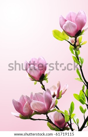 Spring magnolia tree blossoms on pink-white background