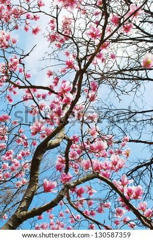 spring magnolia tree flowers