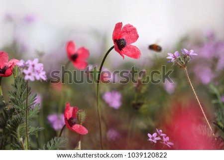 Spring meadow. Delicate poppy flowers (Papaver) close up.