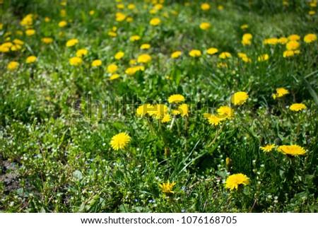 spring meadow of dandelions #1076168705
