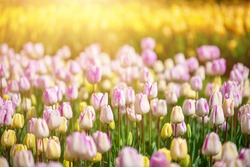 Spring meadow with a lot of multicolored violet and yellow tulip flowers, floral background