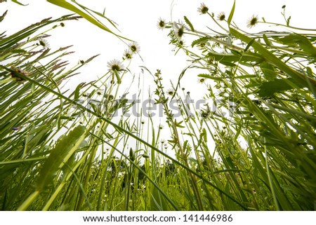 spring meadow with daisies - white background