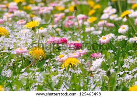 Spring Meadow with Daisy and Dandelion Flowers