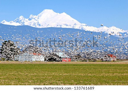 Spring migratory snow geese with Mount Baker in the background