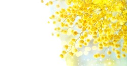 spring Mimosa flowers. Mimosa on white background, concept of spring season. symbol of 8 March, happy women's day. copy space