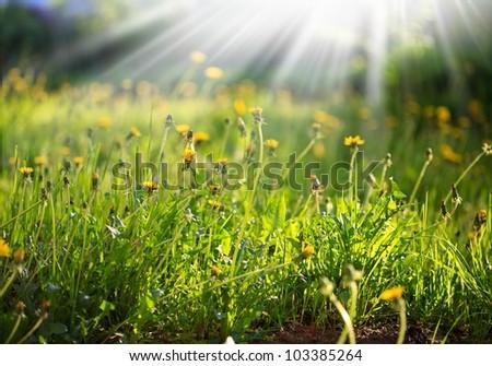 spring morming dandelion