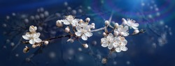 Spring nature background. Beautiful panoramic picture of wild plum tree buds and flowers on dark blue background close up macro. Awesome nature floral spring banner or greeting card.