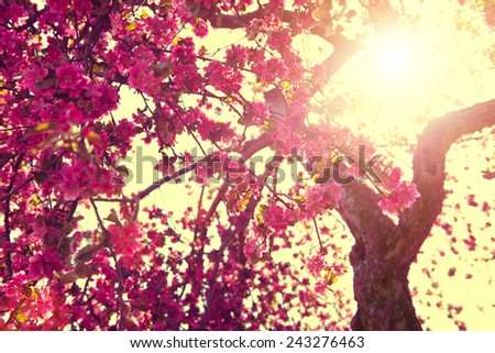 Spring Nature background blooming tree over sunny sky. Spring Blossom. Apple Flowers. Sun flare. Vintage style toned